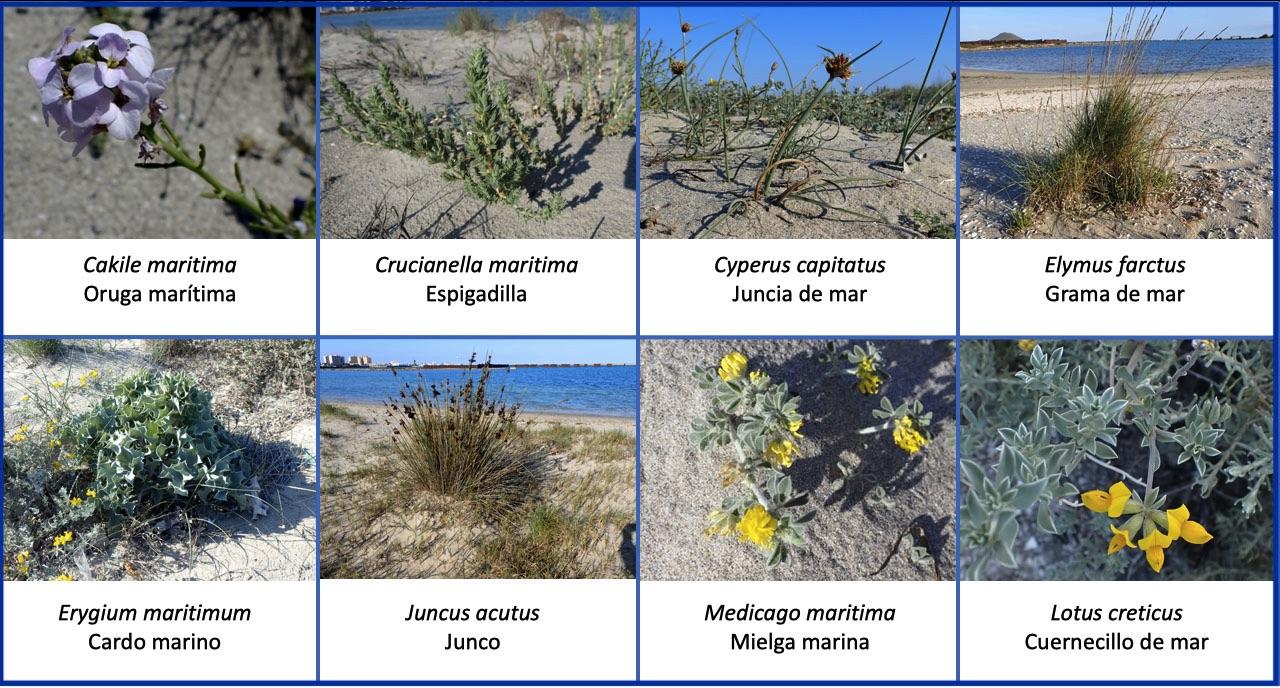 Flora dunar caleta Estacio La Manga
