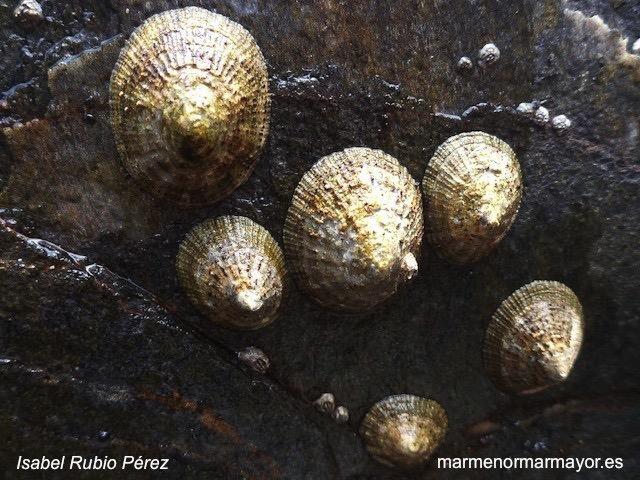 patella rustica lapa Mediterraneo