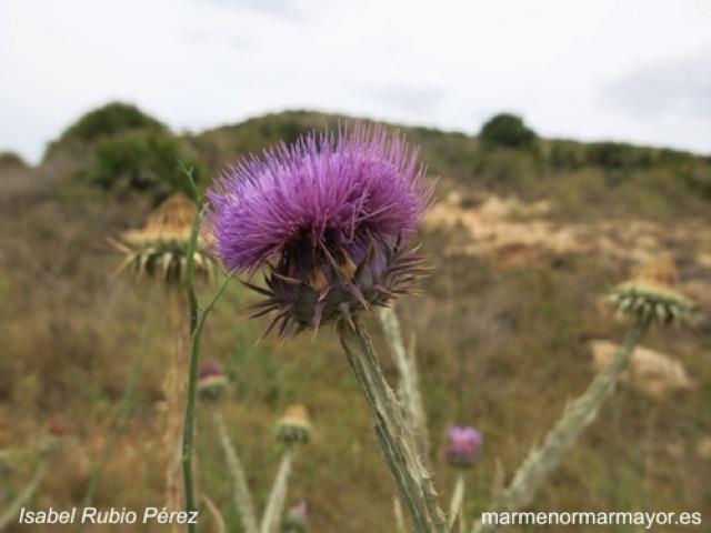 Onopordum micropterum Cardo borriquero Familia: Asteráceas Cala de las Mulas, Los Belones